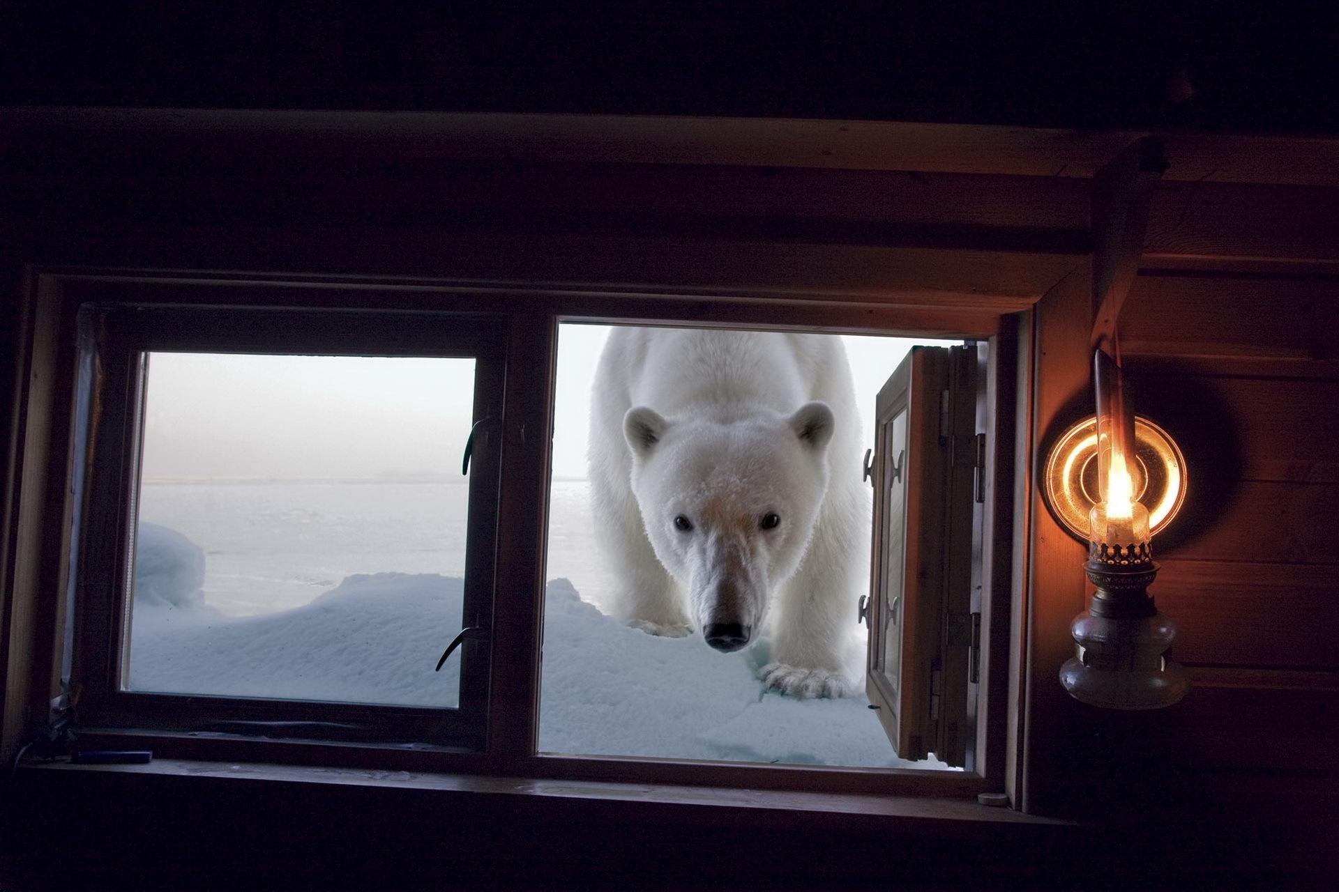 Белый медведь заглядывает в окно