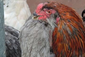 Гилянская порода кур, Gilan breed chickens X4BdA